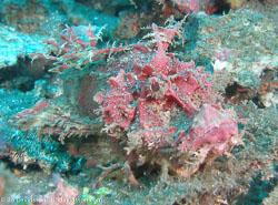 BD-080330-Lembeh-3302330-Rhinopias-frondosa-(Günther.-1892)-[Weedy-scorpionfish].jpg